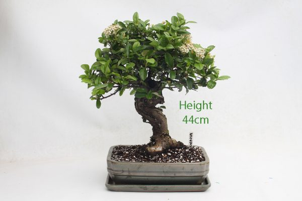 Pyracantha Flowering Bonsai Tree 523 available to buy online from All Things Bonsai Sheffield Yorkshire with free UK delivery