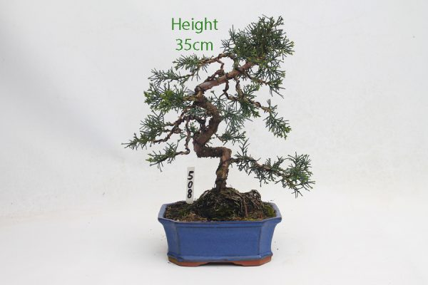 Chinese Juniper Bonsai Tree Number 508 available to buy online from All Things Bonsai Sheffield Yorkshire with free UK delivery
