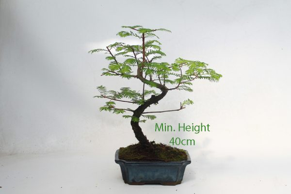 Dawn Redwood Bonsai Tree Part Trained 40cm Height available to buy online from All Things Bonsai Sheffield Yorkshire with free UK delivery
