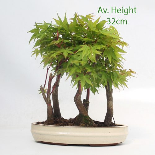 Acer Palmatum Sango Kaku Japanese Maple Bonsai Tree Group available to buy online from All Things Bonsai Sheffield Yorkshire with free UK delivery