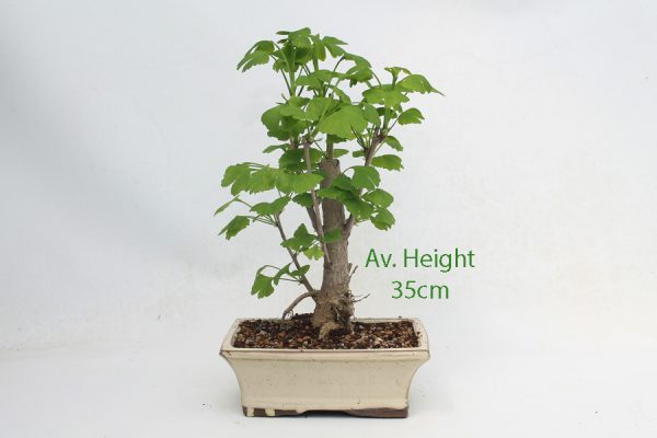 Ginkgo Part Trained Bonsai Tree available to buy online from All Things Bonsai Sheffield Yorkshire with free UK delivery