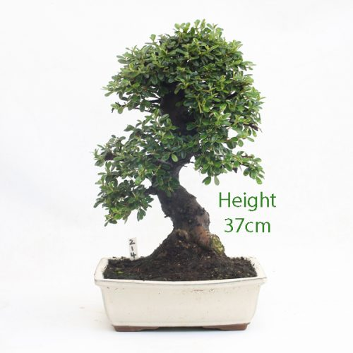 Cotoneaster Flowering Bonsai Tree Number 214 available to buy online from All Things Bonsai Sheffield Yorkshire with free UK delivery