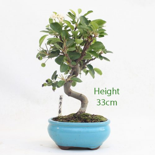 Crab Apple Flowering Bonsai Tree Malus Number 496 available to buy online from All Things Bonsai Sheffield Yorkshire with free UK delivery