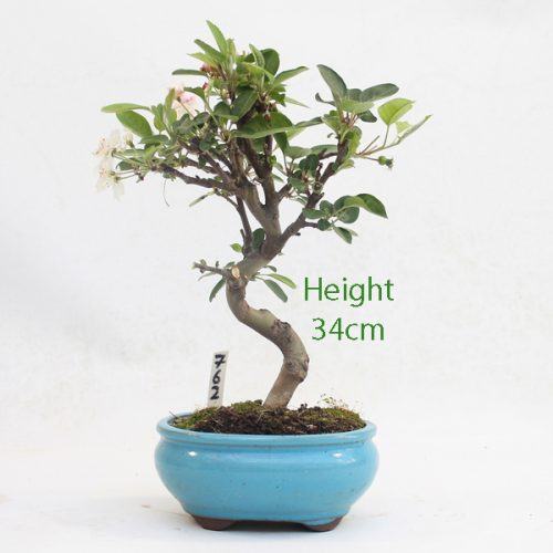 Crab Apple Flowering Bonsai Tree Malus Number 762 available to buy online from All Things Bonsai Sheffield Yorkshire with free UK delivery
