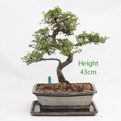 Chinese Elm Bonsai Tree Number 107 available to buy online from All Things Bonsai Sheffield Yorkshire with free UK delivery