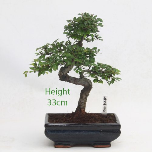 Chinese Elm Bonsai Tree Number 428 available to buy online from All Things Bonsai Sheffield Yorkshire with free UK delivery