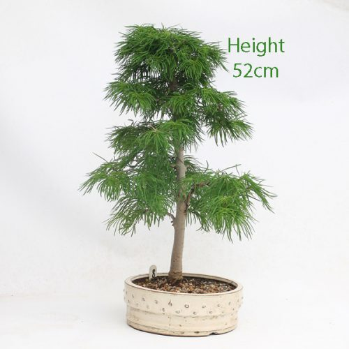 Golden Larch Bonsai Tree Number 8 available to buy online from All Things Bonsai Sheffield Yorkshire with free UK delivery