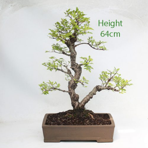 Cork Bark Chinese Elm Bonsai Tree Large available to buy online from All Things Bonsai Sheffield Yorkshire