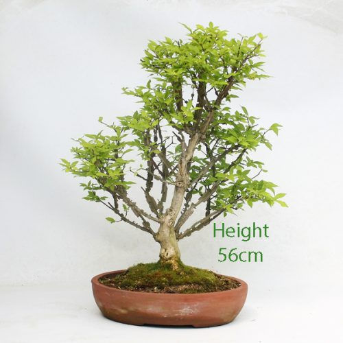 Winged Spindle Bonsai Tree available to buy online from All Things Bonsai Sheffield Yorkshire with free UK delivery