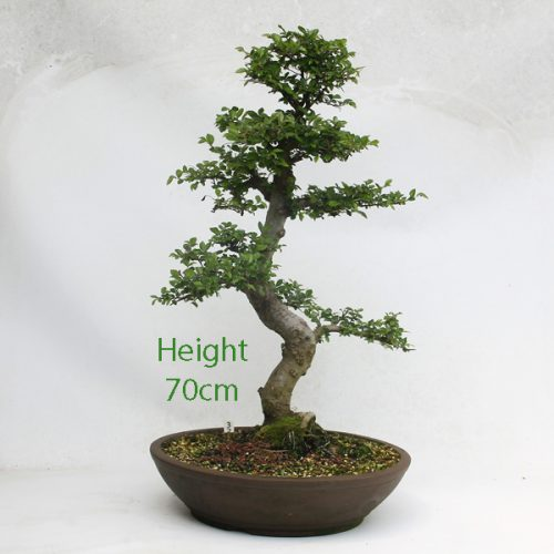 Chinese Elm Bonsai Tree Number 32 available to buy from All Things Bonsai Nursery Sheffield Yorkshire