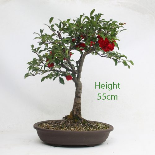 Quince Flowering Bonsai Tree available to buy online from All Things Bonsai Sheffield Yorkshire with free UK delivery