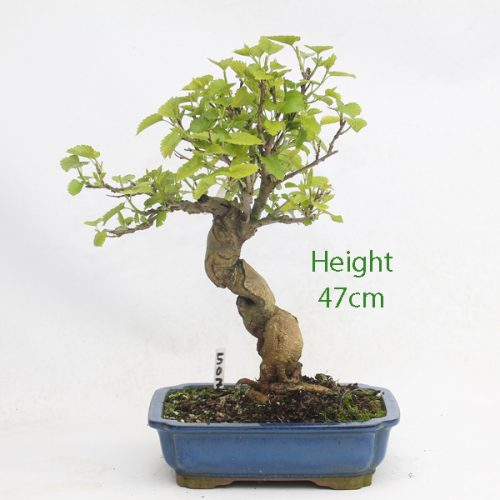 Mulberry Bonsai Tree Number 507 available to buy online from All Things Bonsai Sheffield Yorkshire with free UK delivery