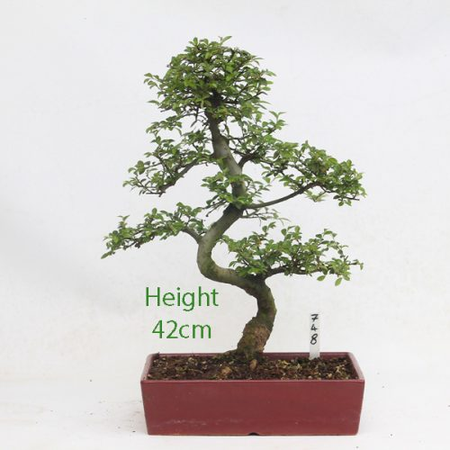 Chinese Elm Bonsai Tree Number 748 available to buy online from All Things Bonsai Sheffield Yorkshire with free UK delivery