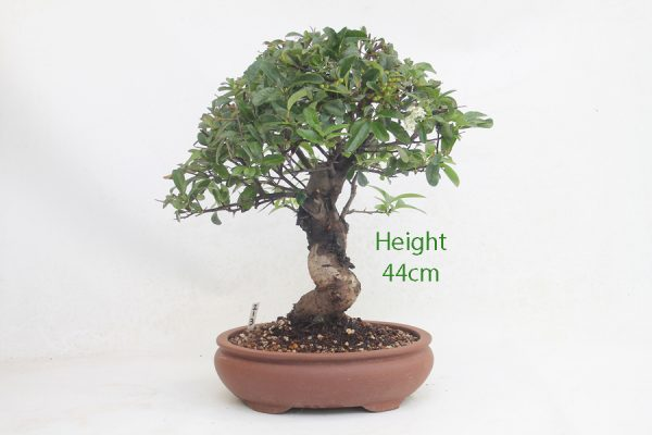 Pyracantha Flowering Bonsai Tree 213 available to buy online from All Things Bonsai Sheffield Yorkshire with free UK delivery