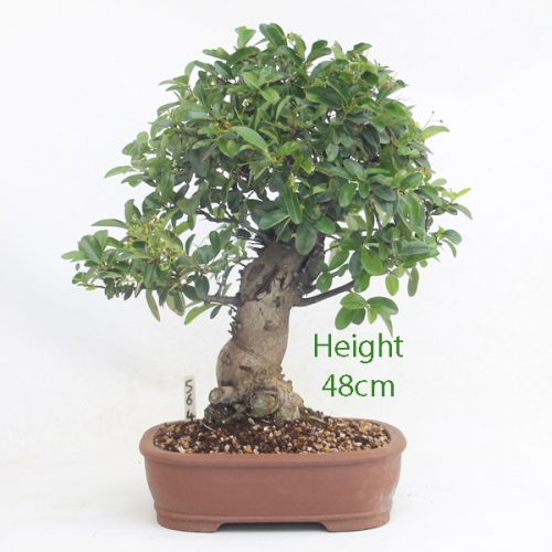 Pyracantha Flowering Bonsai Tree 564 available to buy online from All Things Bonsai Sheffield Yorkshire with free UK delivery