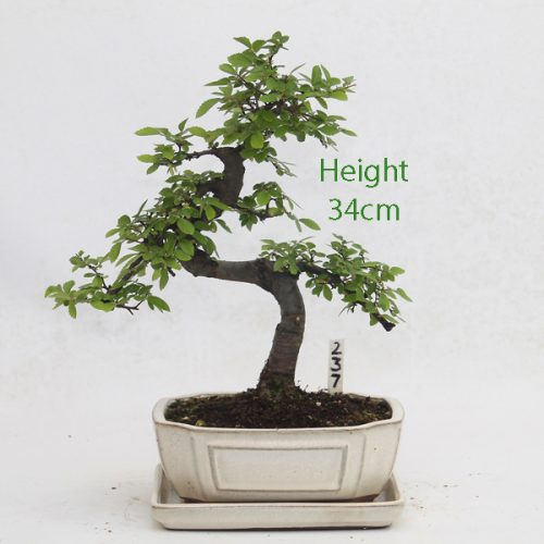 Chinese Elm Bonsai Tree Number 237 available to buy online from All Things Bonsai Sheffield Yorkshire with free UK delivery