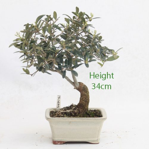 Olive Bonsai Tree Number 723 available to buy online from All Things Bonsai Sheffield Yorkshire with free UK delivery