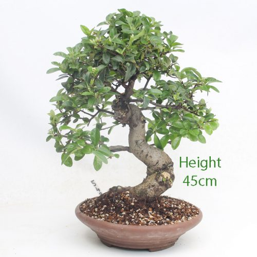 Pyracantha Flowering Bonsai Tree 549 available to buy online from All Things Bonsai Sheffield Yorkshire with free UK delivery