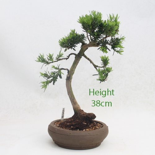 Buddhist Pine Podocarpus Bonsai Tree Number 230 available to buy online from All Things Bonsai Sheffield Yorkshire with free UK delivery
