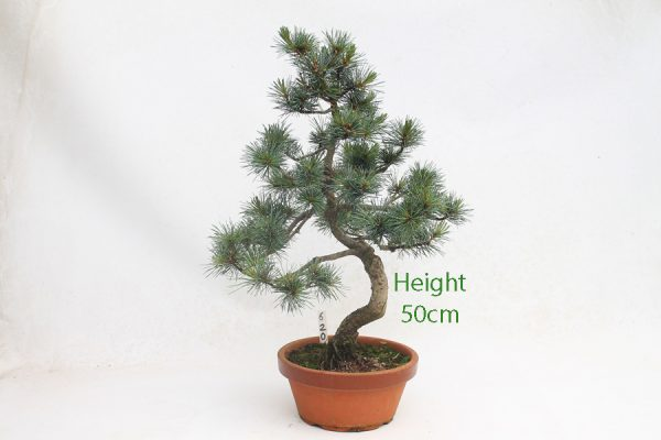 Japanese White Pine Bonsai Tree Part Trained Number 620 available to buy online from All Things Bonsai Sheffield Yorkshire with free UK delivery