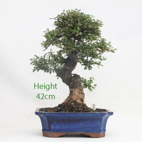 Cotoneaster Flowering Bonsai Tree Number 32 available to buy online from All Things Bonsai Sheffield Yorkshire with free UK delivery