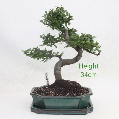 Chinese Elm Bonsai Tree Number 543 available to buy online from All Things Bonsai Sheffield Yorkshire with free UK delivery