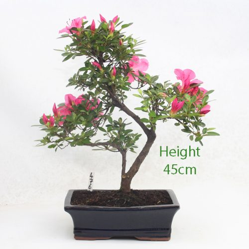 Azalea Flowering Bonsai Tree Number 476available to buy online from All Things Bonsai Sheffield Yorkshire with free UK delivery