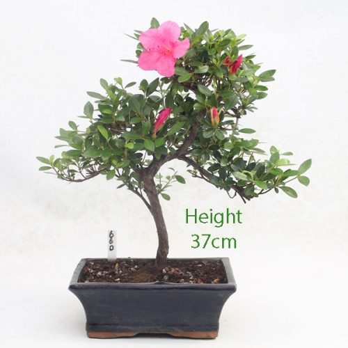 Azalea Flowering Bonsai Tree Number 660 available to buy online from All Things Bonsai Sheffield Yorkshire with free UK delivery
