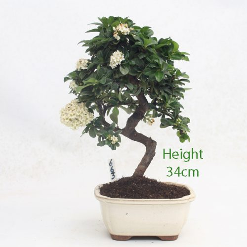 Pyracantha Flowering Bonsai Tree 663 available to buy online from All Things Bonsai Sheffield Yorkshire with free UK delivery