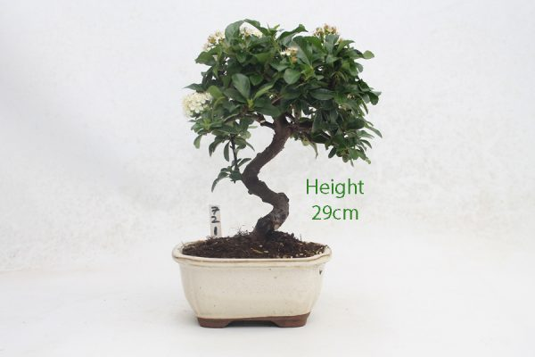 Pyracantha Flowering Bonsai Tree 721 available to buy online from All Things Bonsai Sheffield Yorkshire with free UK delivery
