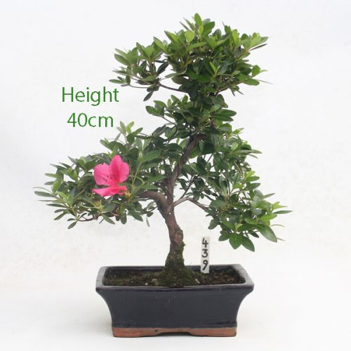 Azalea Flowering Bonsai Tree Number 439 available to buy online from All Things Bonsai Sheffield Yorkshire with free UK delivery