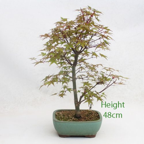 Acer Palmatum Deshojo Japanese Maple Bonsai Tree Number 419 available to buy online from All Things Bonsai Sheffield Yorkshire with free UK delivery