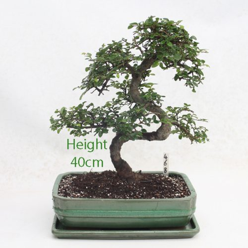 Chinese Elm Bonsai Tree Number 468 available to buy online from All Things Bonsai Sheffield Yorkshire with free UK delivery