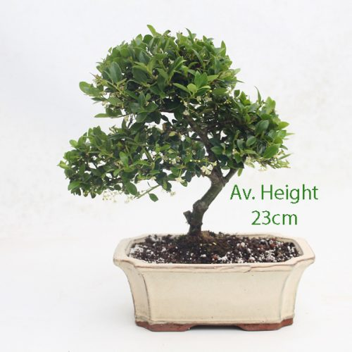 Japanese Holly Flowering Bonsai Tree 15cm Pot With Indented Corners available to buy online from All Things Bonsai Sheffield Yorkshire with free UK delivery