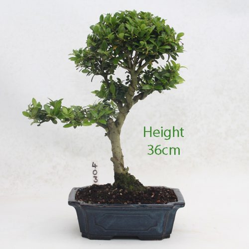Japanese Holly Ilex Flowering Bonsai Tree Number 403 available to buy online from All Things Bonsai Sheffield Yorkshire with free UK delivery