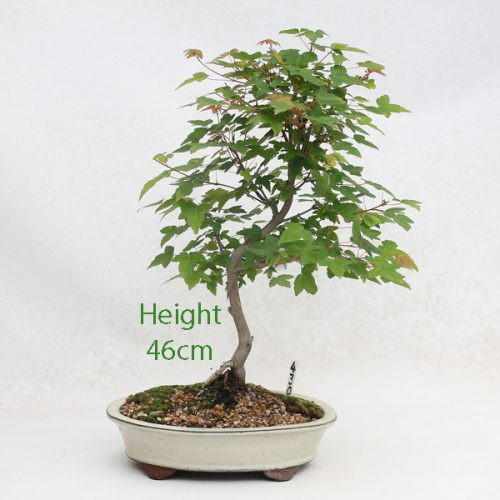 Trident Maple Bonsai Tree Number 430 available to buy online from All Things Bonsai Sheffield Yorkshire with free UK delivery