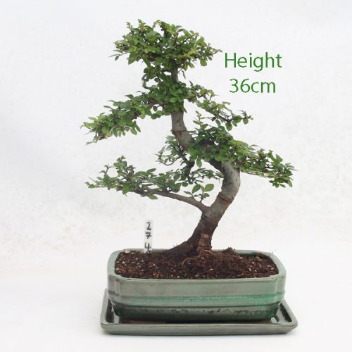 Chinese Elm Bonsai Tree Number 274 available to buy online from All Things Bonsai Sheffield Yorkshire with free UK delivery