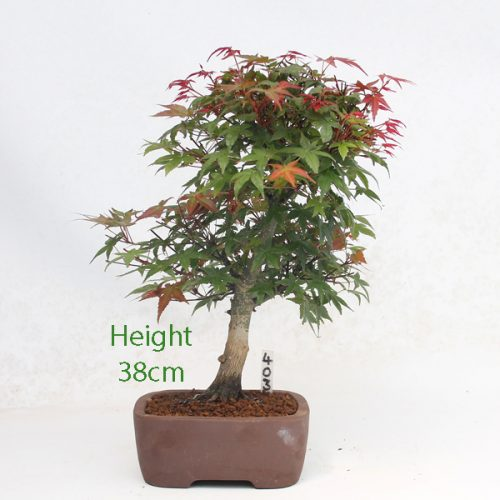 Acer Palmatum Deshojo Japanese Maple Bonsai Tree Number 403 available to buy online from All Things Bonsai Sheffield Yorkshire with free UK delivery