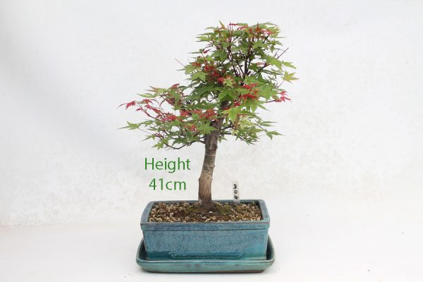 Acer Palmatum Deshojo Japanese Maple Bonsai Tree Number 304 available to buy online from All Things Bonsai Sheffield Yorkshire with free UK delivery