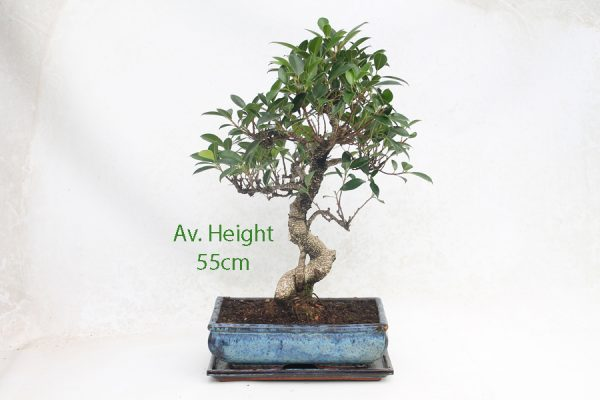 Ficus Bonsai Tree 15 Year Old available to buy online from All Things Bonsai Sheffield Yorkshire with free UK delivery