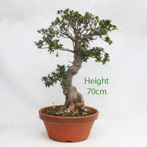 Part Trained Bonsai Tree Azalea Number 610 available to buy from our nursery at All Things Bonsai Sheffield Yorkshire