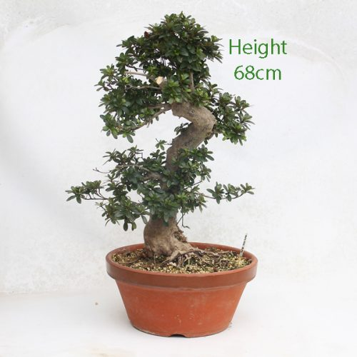 Part Trained Bonsai Tree Azalea Number 505 available to buy from our nursery at All Things Bonsai Sheffield Yorkshire