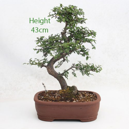 Chinese Elm Bonsai Tree Number 494 available to buy online from All Things Bonsai Sheffield Yorkshire with free UK delivery