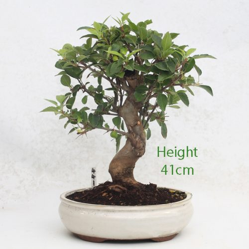 Crab Apple Flowering Bonsai Tree Malus Number 441 available to buy online from All Things Bonsai Sheffield Yorkshire with free UK delivery