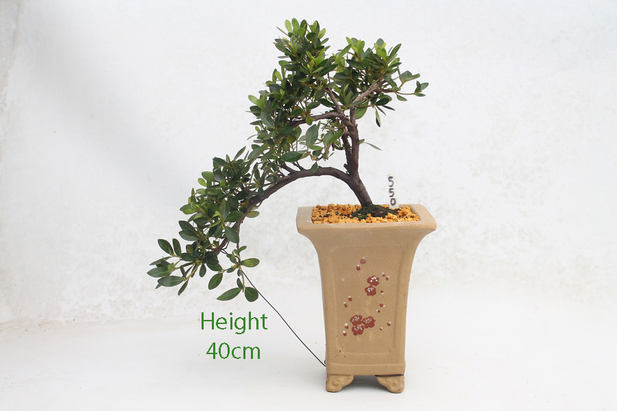 Azalea Flowering Bonsai Tree Cascade Style Number 550 All Things Bonsai