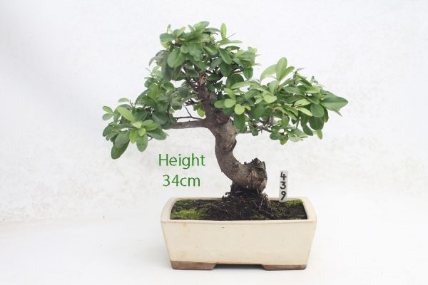 Pyracantha Flowering Bonsai Tree 439 available to buy online from All Things Bonsai Sheffield Yorkshire with free UK delivery