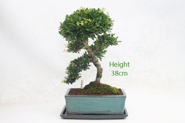 Japanese Holly Ilex Flowering Bonsai Tree Number 222 available to buy online from All Things Bonsai Sheffield Yorkshire with free UK delivery