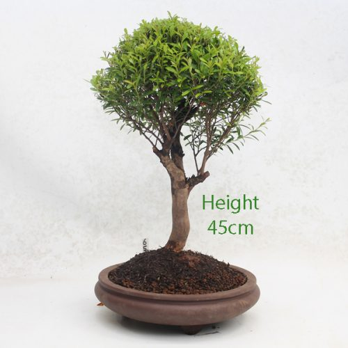 Syzygium Flowering Bonsai Tree Number 655 available to buy online from All Things Bonsai Sheffield Yorkshire with free UK delivery