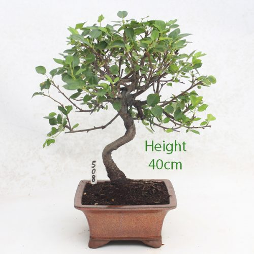 St Lucie Cherry Flowering Bonsai Tree Number 508 available to buy online from All Things Bonsai Sheffield Yorkshire with free UK delivery