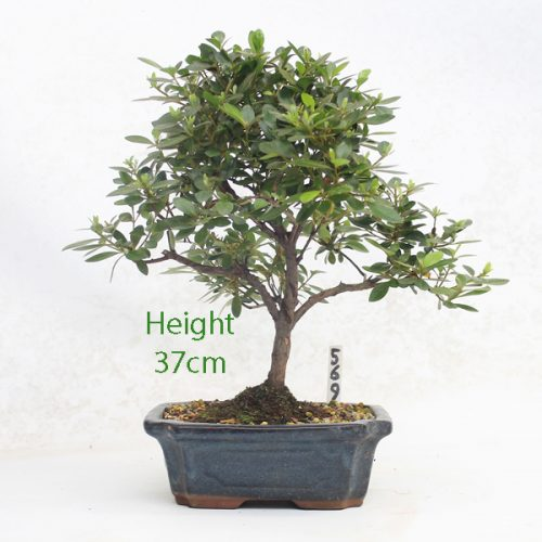 Azalea Flowering Bonsai Tree Number 569 available to buy online from All Things Bonsai Sheffield Yorkshire with free UK delivery